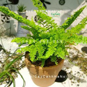 cây dương xỉ Thái 1