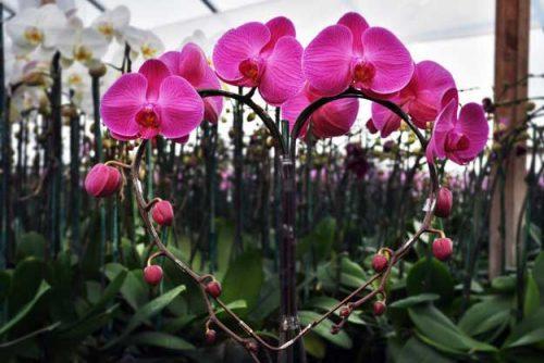 cây hoa lan 5