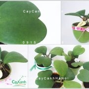 cay-la-tim-xanh-3