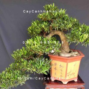 cây vạn niên tùng 3