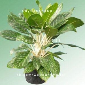 cây bạch mã 4