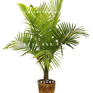 cây cau vàng 3