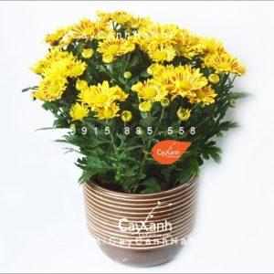 cây hoa cúc 4