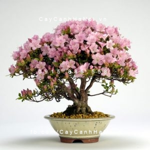 cây hoa đỗ quyên 3