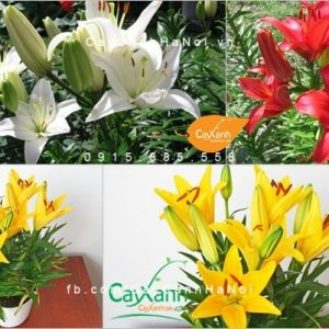 cây hoa lily 2
