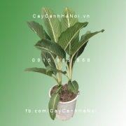 cay-oai-hung-4